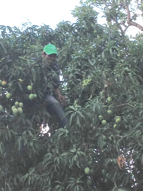 The mango shaker who proudly parted the branches so I could get a picture..
